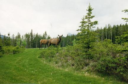 Animals, elk, can be seen everywhere in Banff