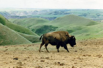 Buffalo Trail Tour, a bison
