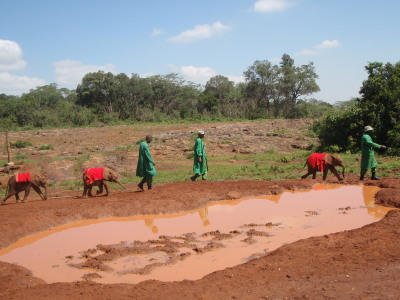 Workers bringing the orphan elephants